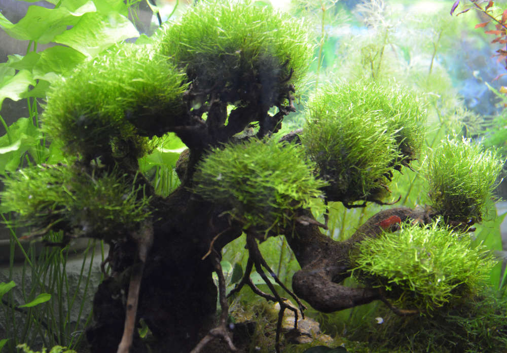 Le Christiany, l'aquarium pour les Guppys Bonsai14
