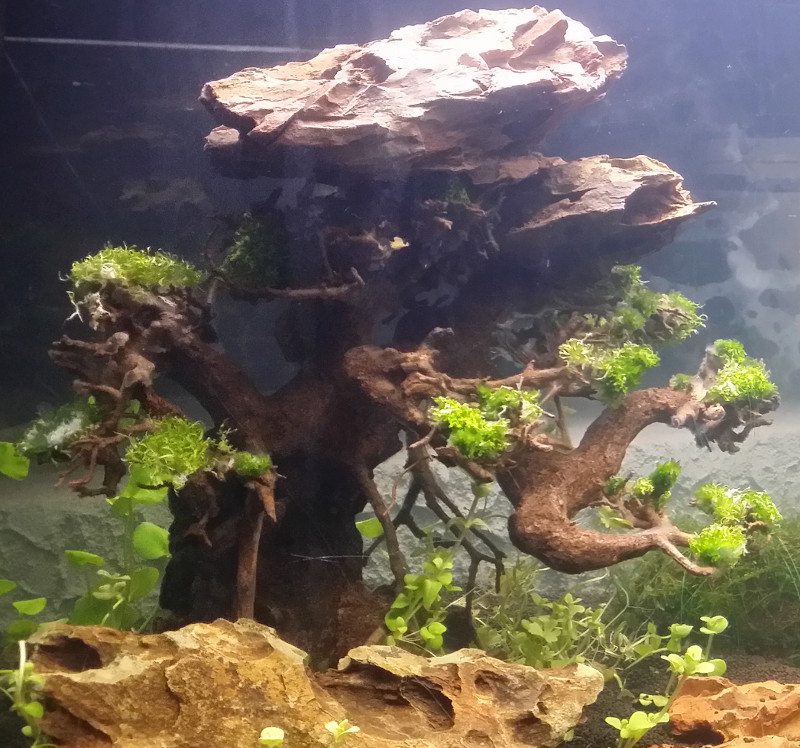 Le Christiany, l'aquarium pour les Guppys Bonsai16