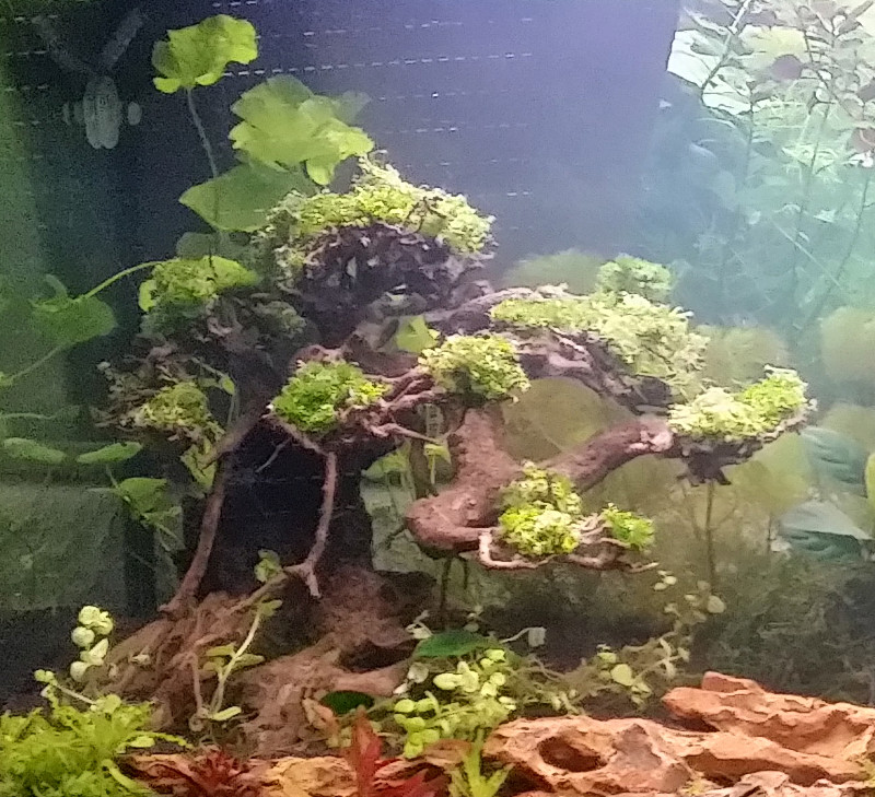 Le Christiany, l'aquarium pour les Guppys Bonsai17