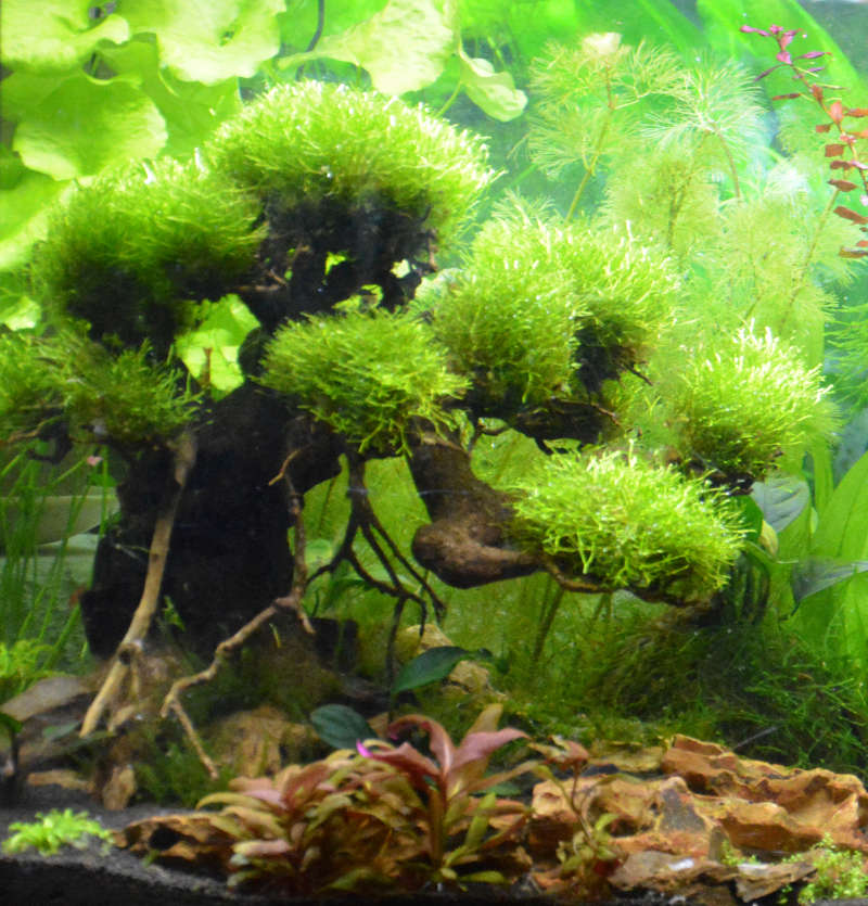 Le Christiany, l'aquarium pour les Guppys Bonsai18
