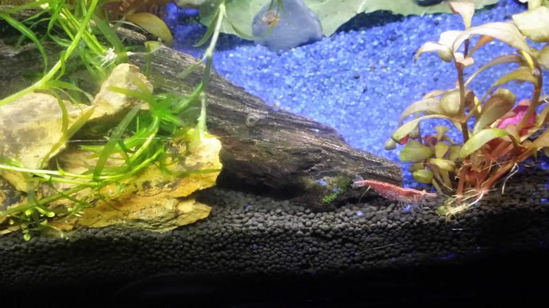 Le Christiany, l'aquarium pour les Guppys Crevet12