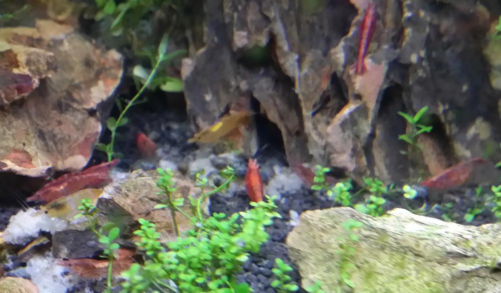 Le Christiany, l'aquarium pour les Guppys Festin11