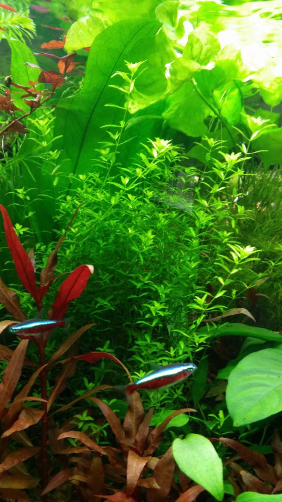Projet pour un aquarium de crevettes Caridina Cardinale Hemian10