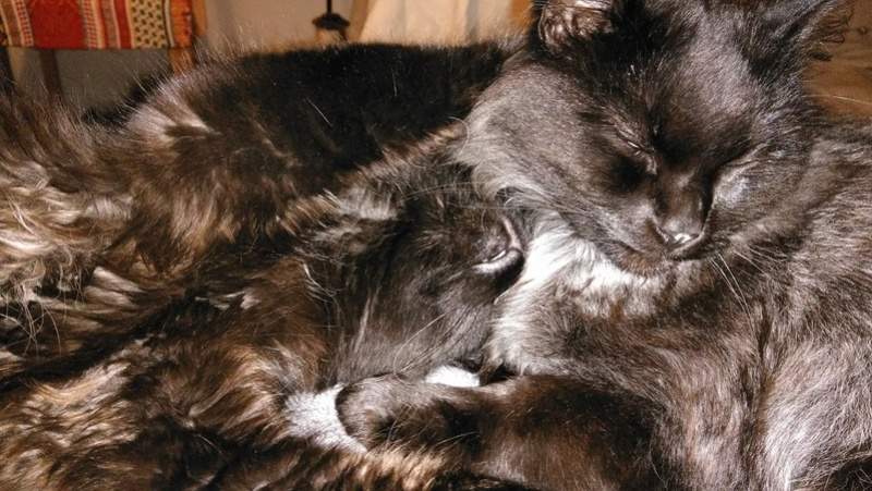 lavande - LAVANDE, FEMELLE BLACK SMOKE NOIRE MI-LONGS, NEE LE 01/09/2015 Cats_113
