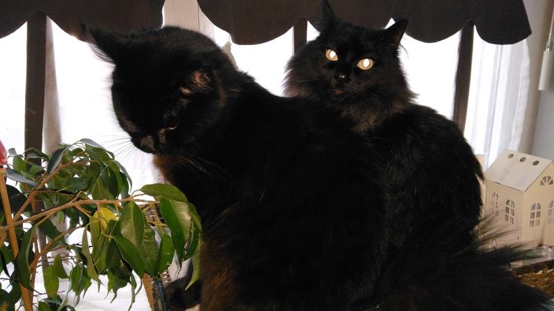 martin - MARTIN,chaton mâle noir,né le 08/06/16 Img_2021