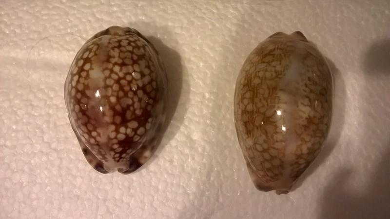 Mauritia maculifera Wp_20125