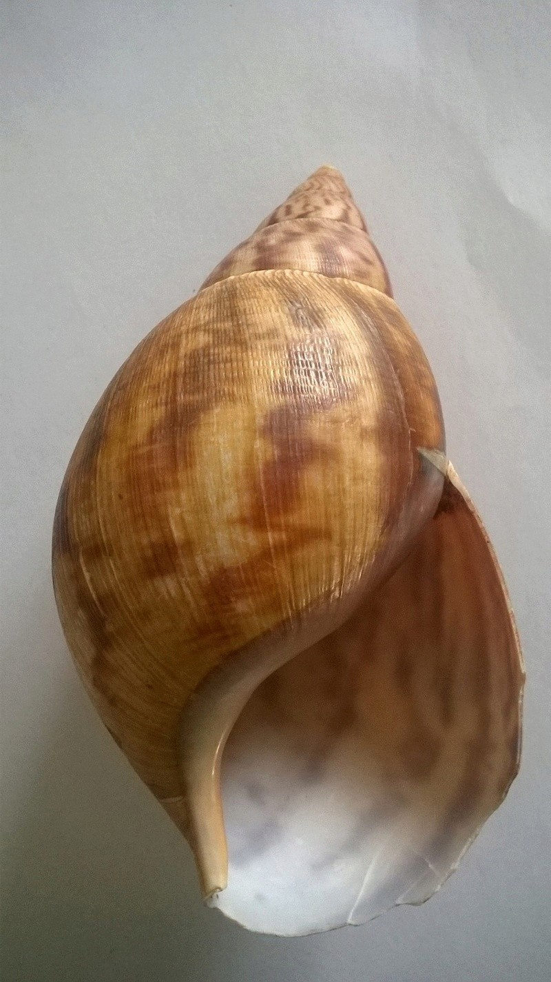 Achatina iostoma L. Pfeiffer, 1854 Wp_20188