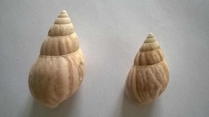 Lissachatina fulica (Férussac, 1821)  - Page 4 Wp_20190