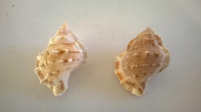Bursidae - Bufonaria crumena (Lamarck, 1816) ou ?  Wp_20196
