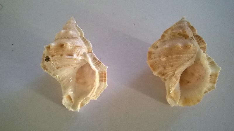 Bursidae - Bufonaria crumena (Lamarck, 1816) ou ?  Wp_20197