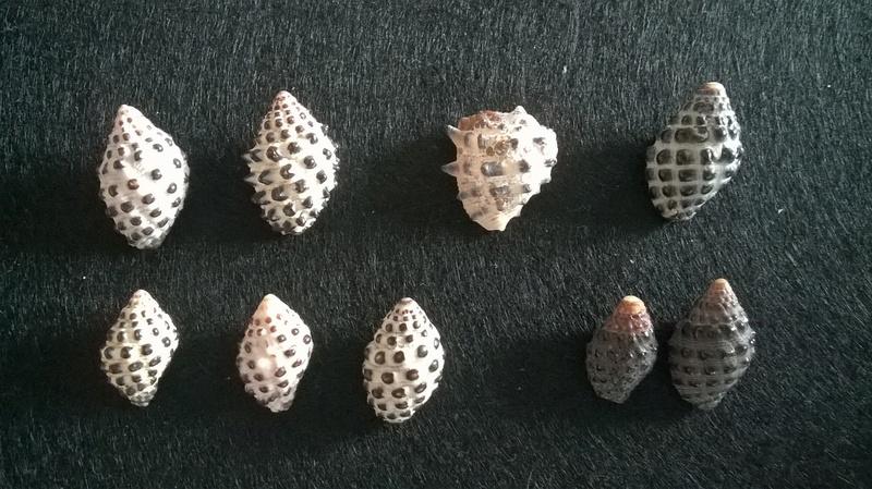 Morula Uva, Drupa albolabris et Gibberula granulata Wp_20206