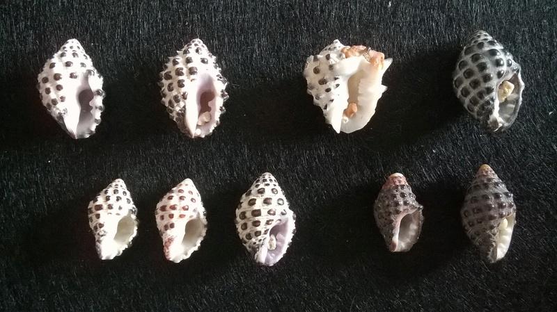 Morula Uva, Drupa albolabris et Gibberula granulata Wp_20207