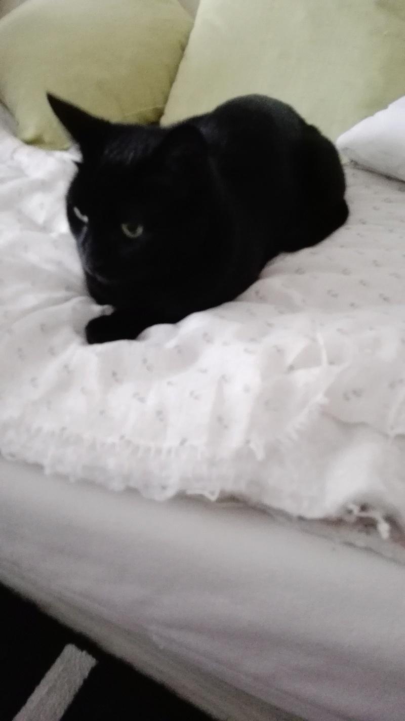 gaffy - GAFFY chat mâle européen noir né le 12/10/2011 Img_2012