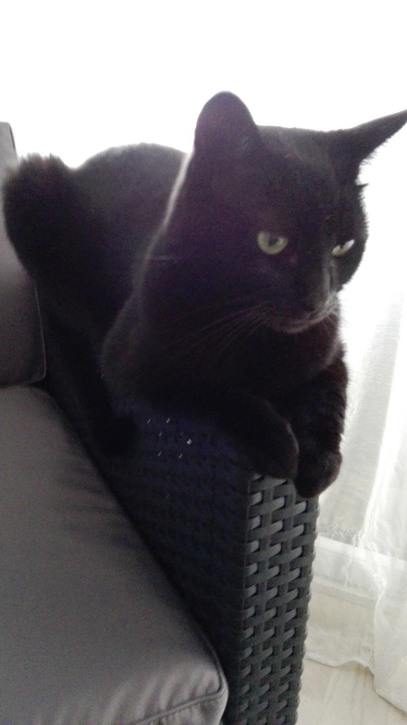 gaffy - GAFFY chat mâle européen noir né le 12/10/2011 Img_2016