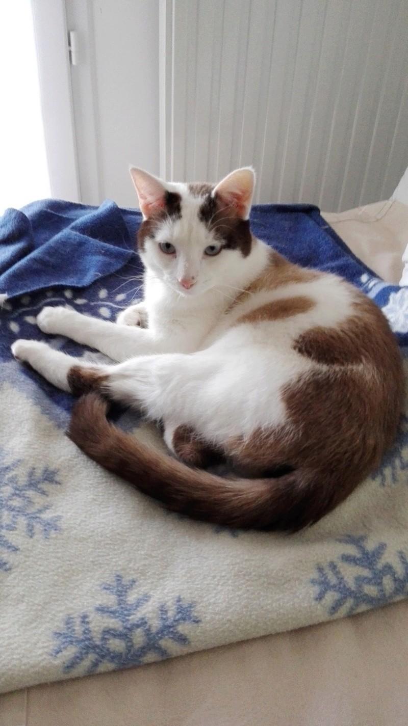 INVICTUS, chat européen marron&blanc, né en 2013, en FA longue durée Img_2019
