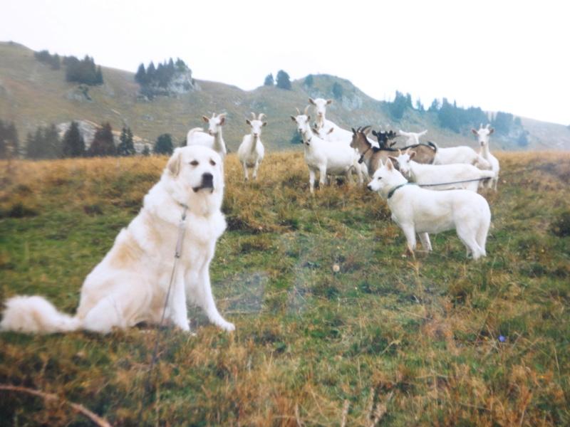 La belle vie de ma première chienne Huskie blanche  21310