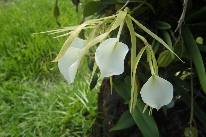 Identification  Orchi du Honduras et + pour les spécialistes de la culture in vitro Orchid10
