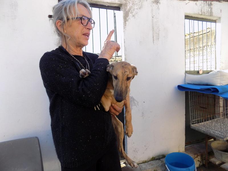 EVA chiot galga bringée 4mois Adoptée  16110