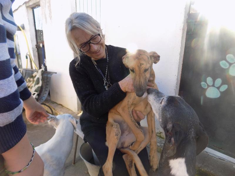 EVA chiot galga bringée 4mois Adoptée  16510