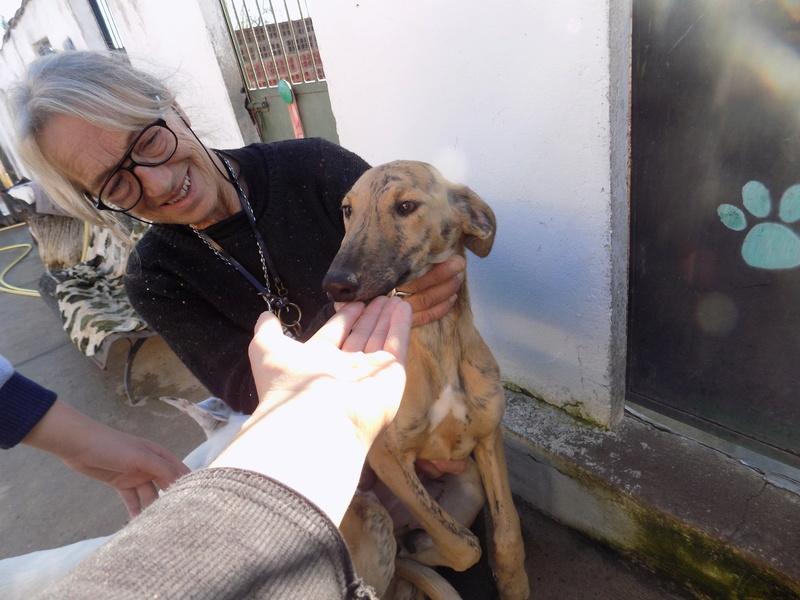 EVA chiot galga bringée 4mois Adoptée  16610