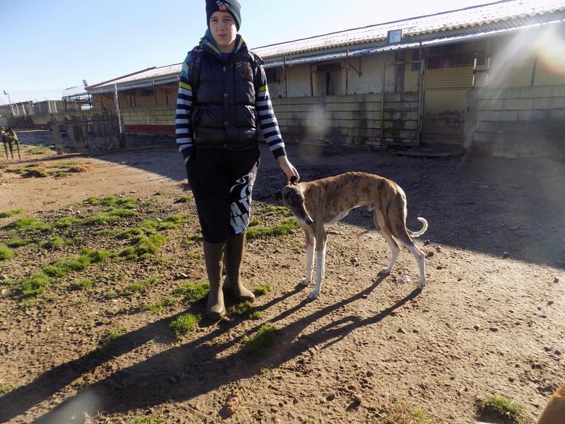 Baco jeune galgo né en 2014 à l'adoption refuge de scooby Adopté  27210