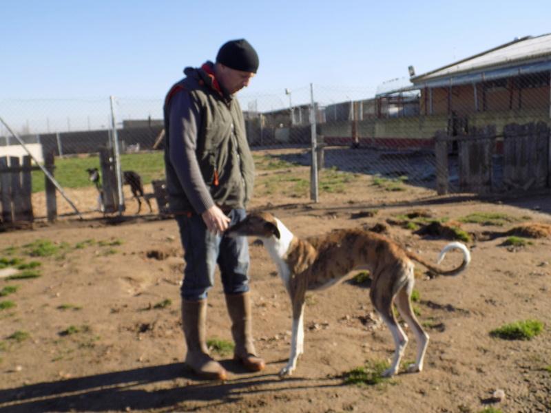 Baco jeune galgo né en 2014 à l'adoption refuge de scooby Adopté  27410