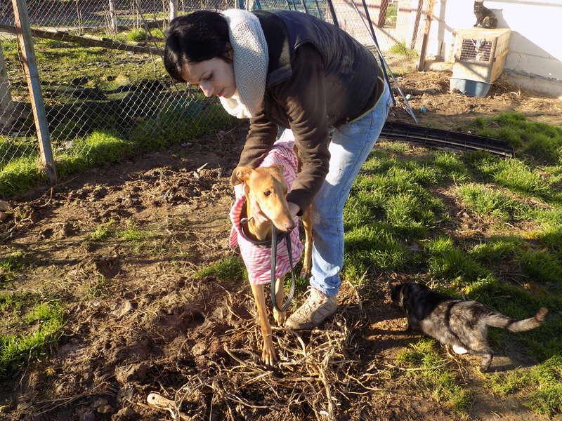Paris galga tres douce à l'adoption Adoptée  55210