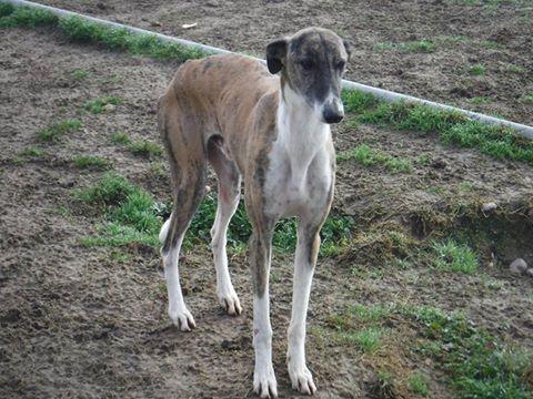 Baco jeune galgo né en 2014 à l'adoption refuge de scooby Adopté  Baco610