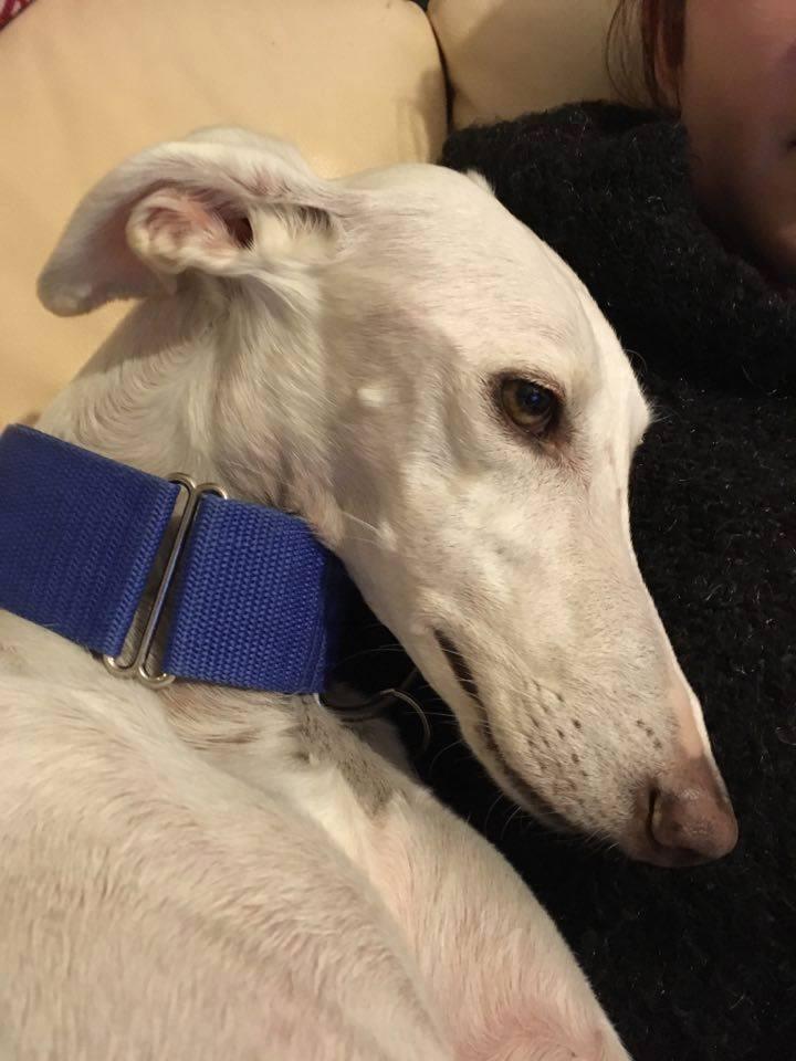 BELLA galga blanche née en 2012 Adoptée  Bella310