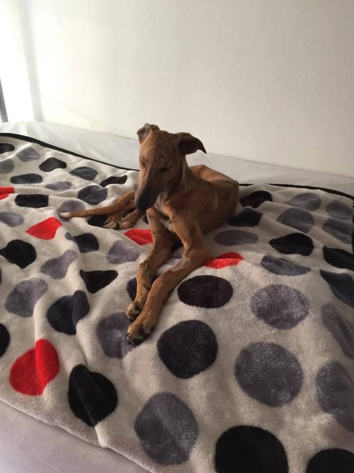 EVA chiot galga bringée 4mois Adoptée  Eva410