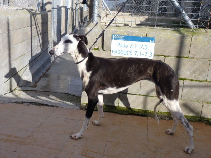 OURLY galga 5ans noire et blanche Ourly410
