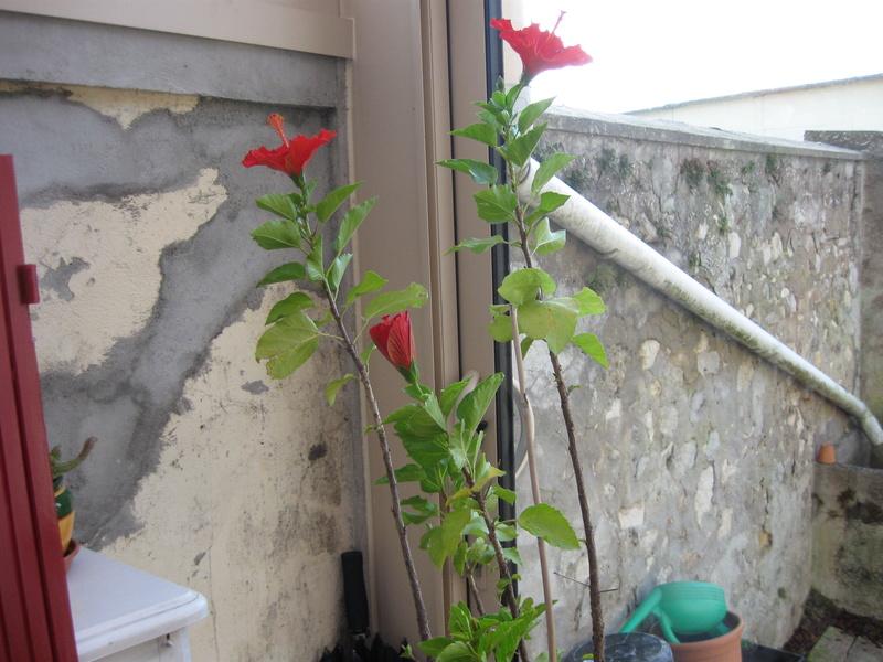 mon hibiscus Hibisc11