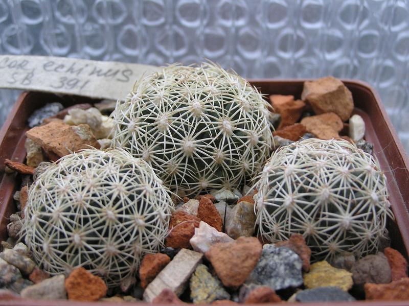 Cactus under carbonate 10 C_echi10