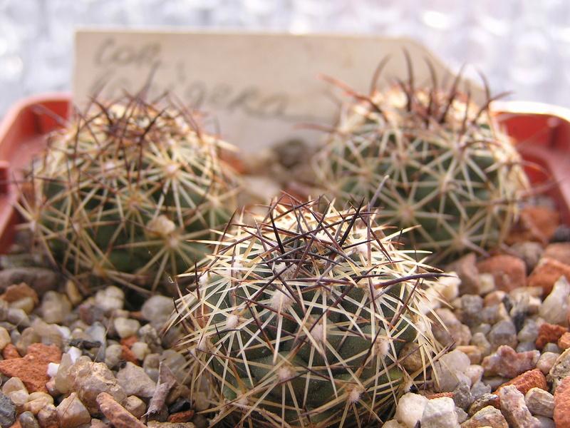 Cactus under carbonate №... №... 13 C_lani10