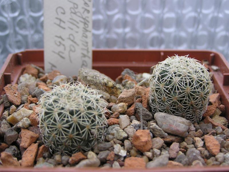 Cactus under carbonate №... №... 13 C_pall10