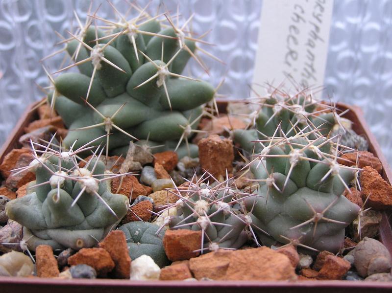 Cactus under carbonate 9 C_sche10