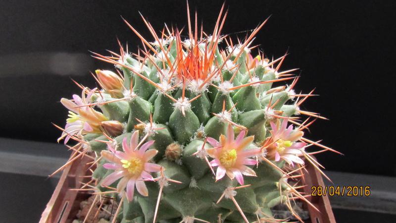 Cactus under carbonate 12 Img_5710