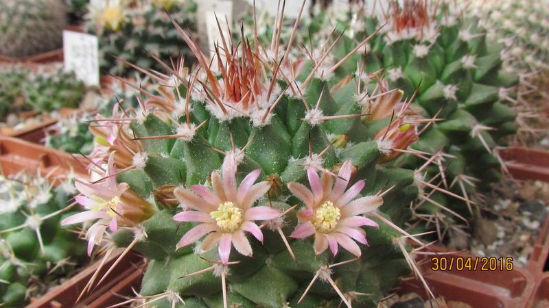 Cactus under carbonate 12 Img_5711