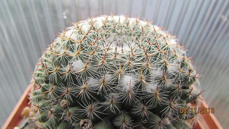 Cactus under carbonate 4 Img_6920