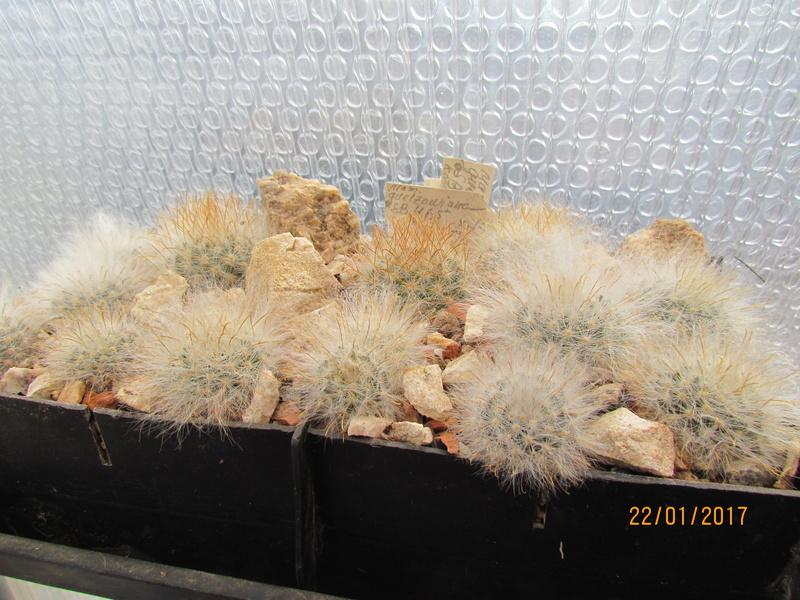 Cactus under carbonate №... №... 13 Img_7312