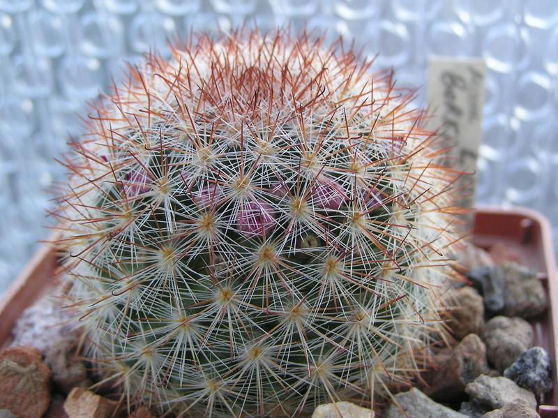 Cactus under carbonate 9 M_berk10