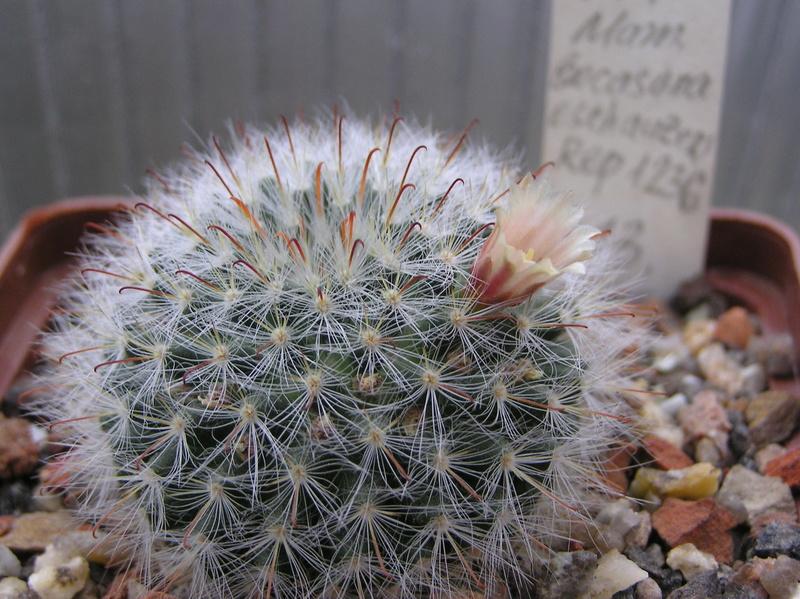 Cactus under carbonate 6 M_boca10