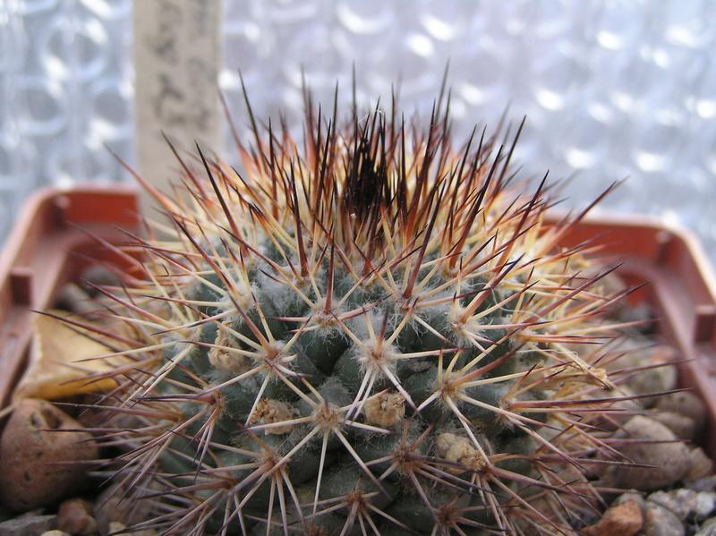 Cactus under carbonate 9 M_boce10