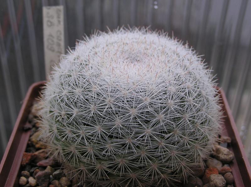 Cactus under carbonate 7 M_cand14