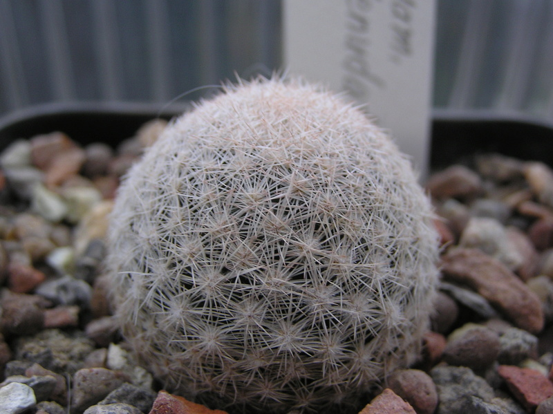 Cactus under carbonate 6 M_denu10