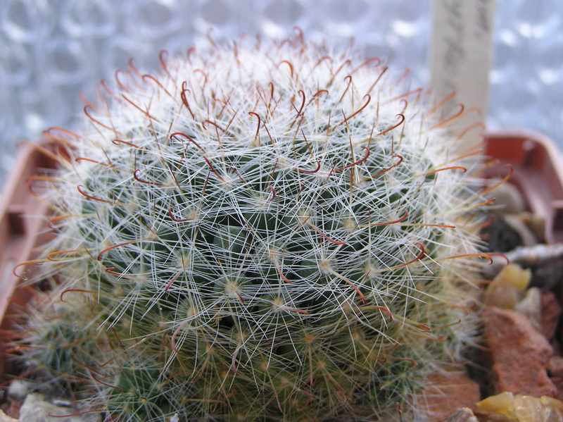 Cactus under carbonate 9 M_eryt10