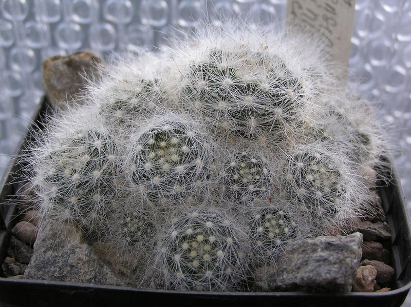 Cactus under carbonate 9 M_glas12
