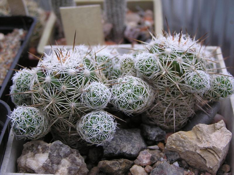 Cactus under carbonate 9 M_grac10
