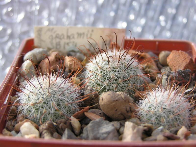 Cactus under carbonate 10 M_grah10