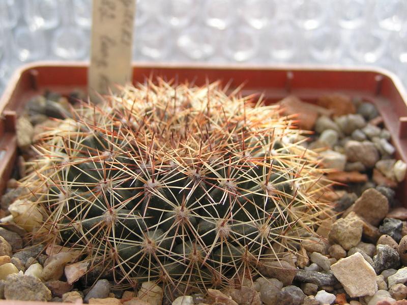 Cactus under carbonate 10 M_heyd12